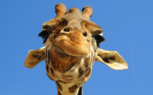 Giraffes_wallpapers_142