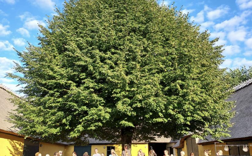 Et lindetræ